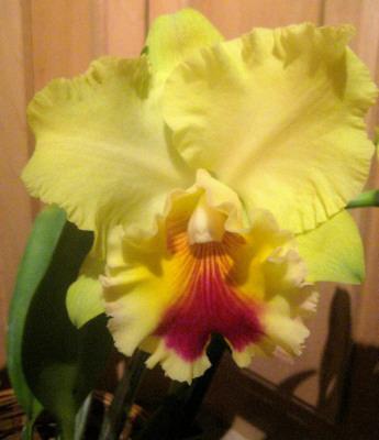"This delicate beauty I call ""Lemon Chiffon"". It reminds me of a lemon chiffon pie!"