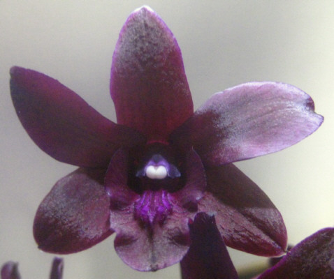 """I simply could not """"get over"""" how deep the color was in this little orchid."""