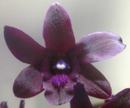 "I simply could not ""get over"" how deep the color was in this little orchid."