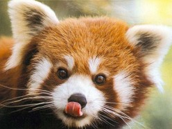 The fact file of Red pandas