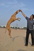Indian Dogs like Doberman