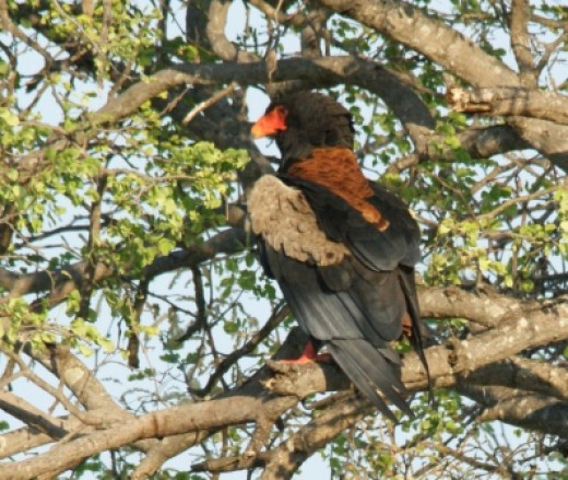 Beautiful Bataleur Eagle