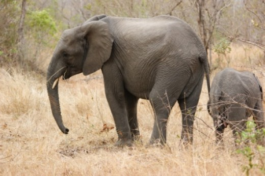 Browsing Elephant in dry grass