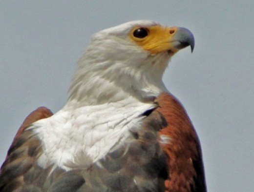 Close-up of  Fish Eagle