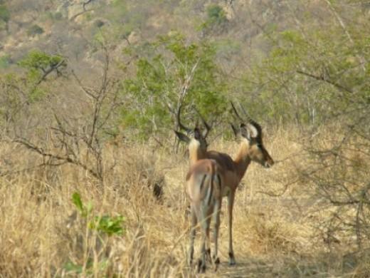 Impala are plentiful