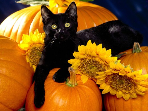 A huge Halloween superstition is the black cat
