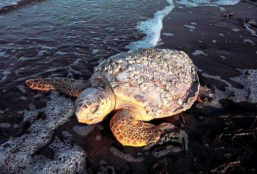 Loggerhead turtle preparing to nest on Kiawah Island