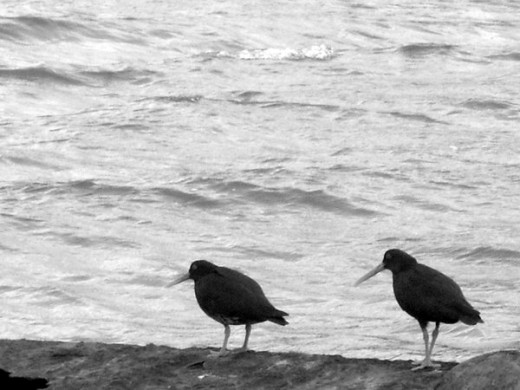 Black Oystercatches
