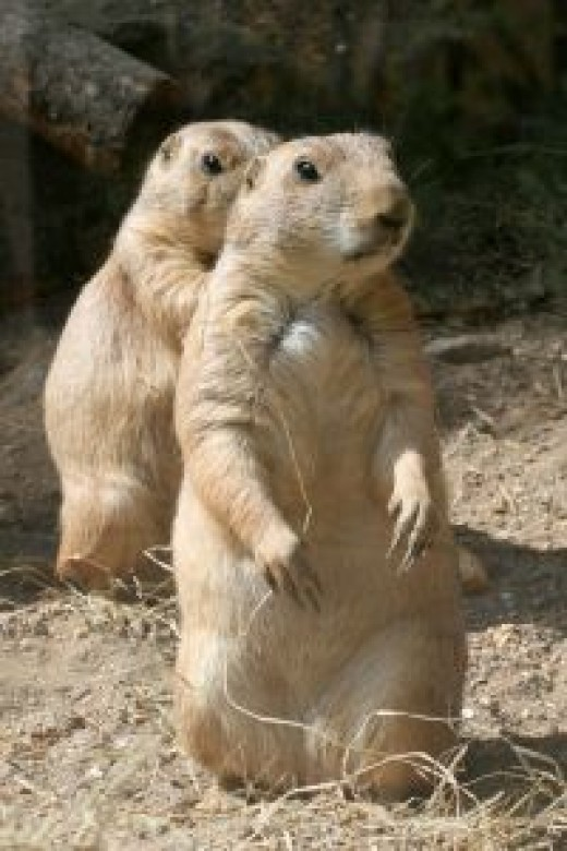 You're bound to see Prairie Dogs on a walk in Lubbock. Buddy Holly recreation area has an entire village of prairie dogs.