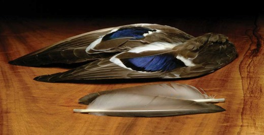 Wings of a hunted duck.