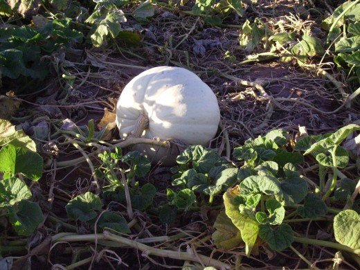 White pumpkin continuing to grow as Halloween quickly approaches.