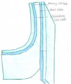 The Structure, Function and Usefulness (to Humans) of Plant Cell Walls