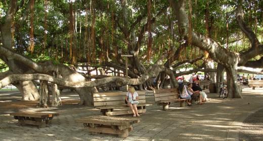 Lahaina's Banyan Tree: Maui, HI