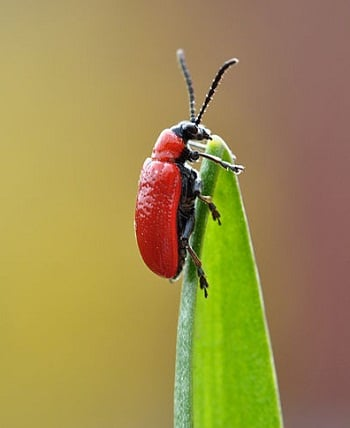 A Scarlet Lily Beetle