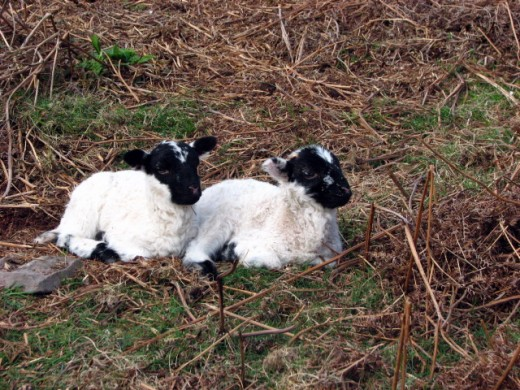 Black faced lambs in England.