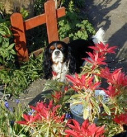 My Cavalier King Charles spaniel, Henry, in our new garden standing behind a potted shrub, back in 1999.