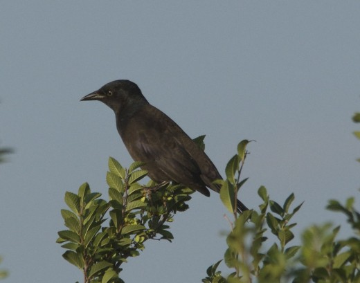 Common Grackle Juvenile