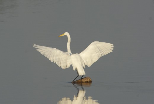 "Great Egret ""Wings Wide"""