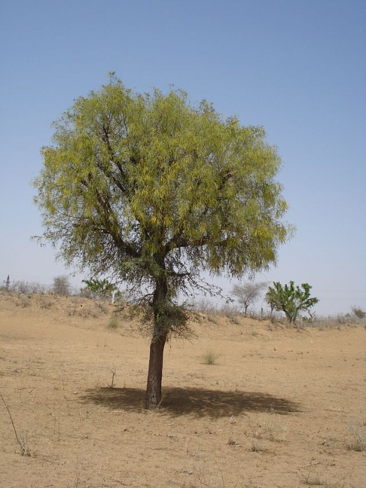 Khejri is a useful tree with some considerable shade