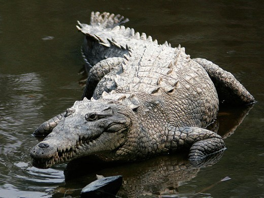 American crocodiles can be found in countries such as Mexico, Peru, Venezuela, Cuba and Jamaica.  They also live in the southern half of Florida.  They are heavily outnumbered by alligators in the US, however.