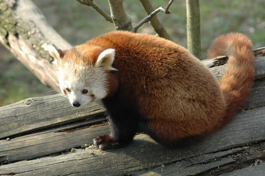 Red Panda from the Natura Viva Park of Pastrengo, Verona, Italy