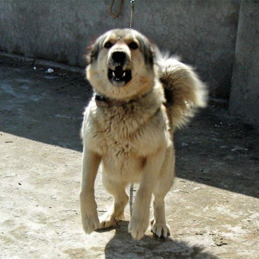 Kashmiri Sheepdog ( Bakharwal Dog)