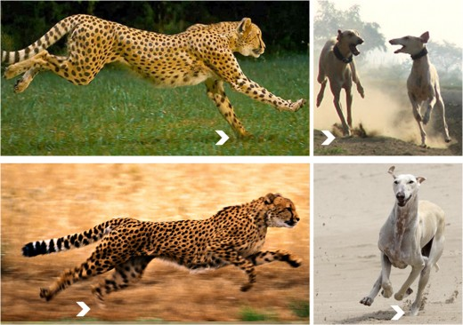 Running Leopard and Caravan Hounds