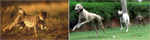 Caravan Hounds use a single paw to land on a surface, like leopards.