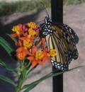 The Monarch Butterfly - how to help this butterfly in Tenerife and the Canary Islands