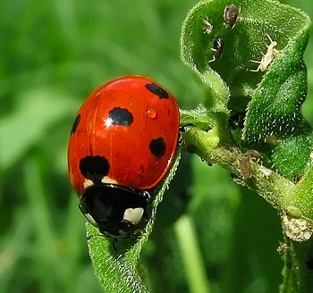 A ladybug (called a ladybird in the UK) with the aphids it eats.