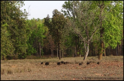 Wild Boar at Panna National Park