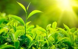 Leaf & Bud of Tea Plant