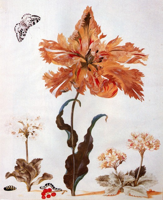 A Parrot Tulip, Auriculas, and Red Currants, with a Magpie Moth, its Caterpillar and Pupa by Maria Sibylla Merian.  Black chalk, bodycolour and watercolour on vellum; 31.6 × 26 cm (12.4 × 10.2 in)