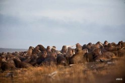 Mass Animal Die Off - Native American Group Adopts Walruses