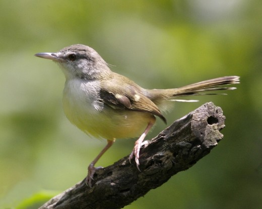 The Rev Tristram thought that the Cetti's warbler were closely allied to the genus Prinia.