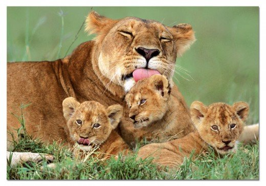 The Lioness with her three cubs...this is how my Mom was!!