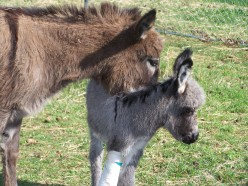 Miniature Donkeys In Pictures