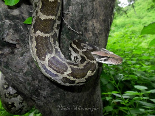 Python on Tree