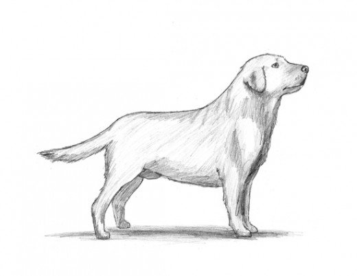 The sketch of a labrador...something like this my mom had sketched long back.