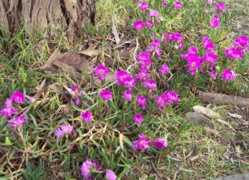 Purple pigface in front of my house.   Image by Snakesmum