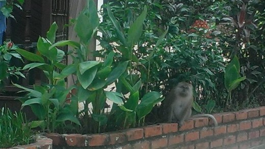 Monkey spotted near Salang Beach.