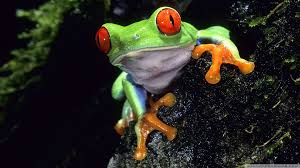 Notice the Red Eyed Tree Frogs distinctive red eyes in the photo above.