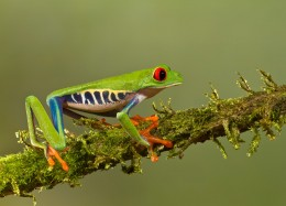 While your not going to cuddle a red eyed tree frog they do make great display pets to set and watch.