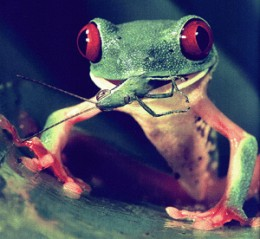 Here we have a red eyed tree frog eating a cricket. You need to feed them small crickets.