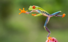 Here we have a red eyed tree frog jumping through the air.