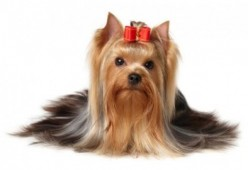 Yorkshire Terrier As Pets