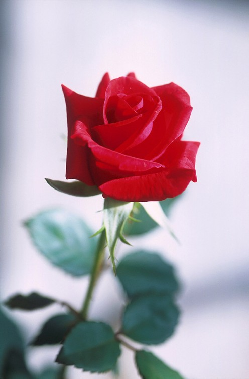 A rose for my reader