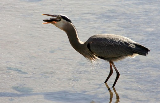 A great blue heron swallowing a fish.