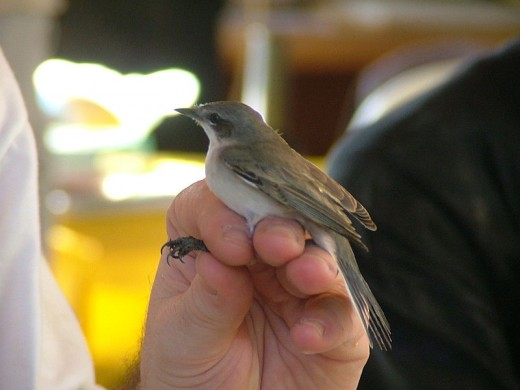 Taken at a bird ringing session in Jerusalem