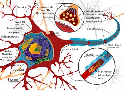 Neuroplasticity explained